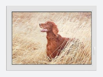 Fensterbild Irish Red Setter