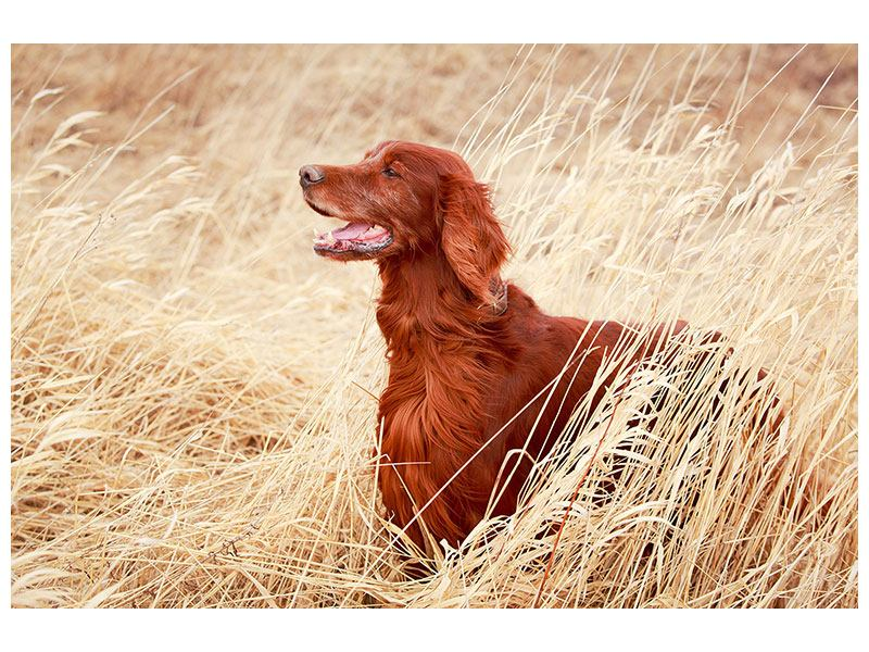 Klebeposter Irish Red Setter